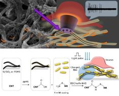 Carbon nanotube film restores light sensitivity to blind retinas ~ Light striking the retina in the back of the eye is the first major step in the vision process. But when the photoreceptors in the retina degenerate, as occurs in macular degeneration....