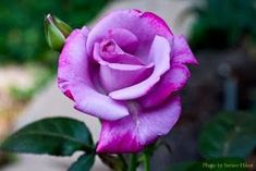 Paradise rose is a hybrid tea rose with a delightful fragrance and an unusual color -- a lilac mauve.