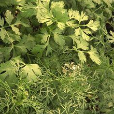 Hierbas arománticas de primavera 2