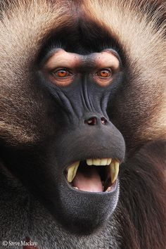 magicalnaturetour: Gelada by Steve Mackay) WHAT???