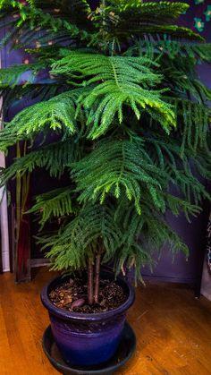 Norfolk Pine   Featured Indoor Plant