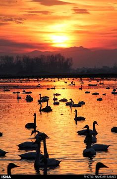 Swans arrive from Siberia in Sorkhroud, northern Iran: During winter about 5000 swans migrate from Siberia to the wetlands of the Caspian town of Sorkhroud in Mazandaran, northern Iran