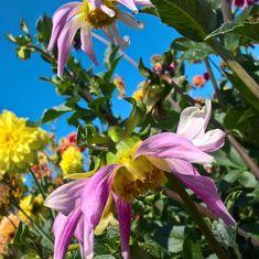 Dahlienschau in Lindau – Teil 2 Plants, Photos, Big Words, Dahlias, Nice Asses, Photo Illustration, Plant, Planting, Planets