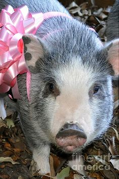 1000 Images About This Little Piggy On Pinterest Pot