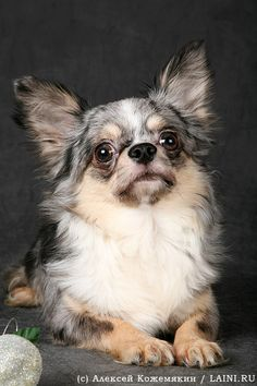 Blue Merle Chihuahua? omg. Too cute found exactly what I want for our third dog!!!