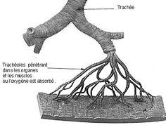 Schéma de la ramification d'une trachée