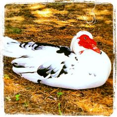 a Muscovy Canard blanc, noir et rouge I came across at an Atlanta park near my former home.  I think she's pregnant.