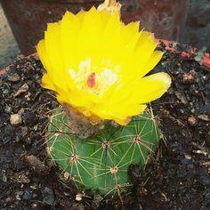 Cactus florecido!  #cactus #maravilloso
