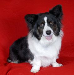 Bogart, my fluffy Cardigan Welsh Corgi.  People often think he's a Border Collie/Corgi cross!  By late winter, his coat is much longer and thicker, even though he spends little time outdoors.