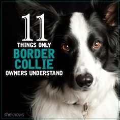 The fun furry facts only border collie owners know to be true