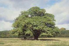 The Bur Oak is the state tree of Iowa.