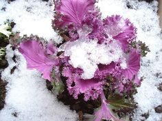 https://flic.kr/p/zo8D4 | the flower with snow... | this is more beautiful than the other