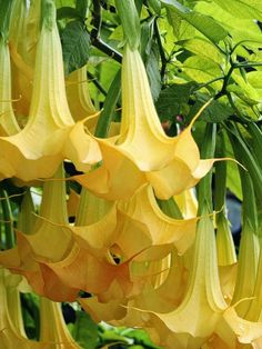 Tropical Angel Flower