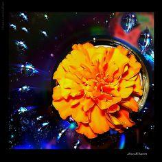 Flor Perfumada | Fotografia de JouElam | Olhares.com