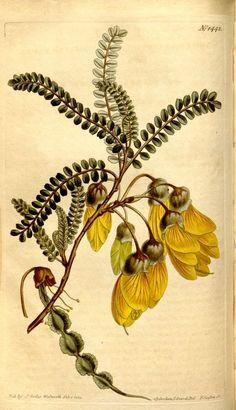 Edwardsie microphylla. v.35-36 (1811-1812) - Curtis's botanical magazine. - Biodiversity Heritage Library