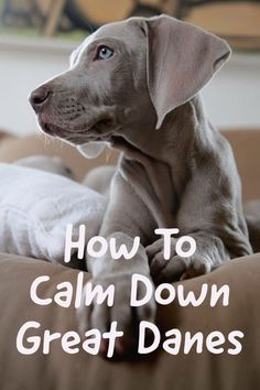 Even though Great Danes are generally a calm breed, they still have their moments of craziness. This can be especially true for Great Dane puppies! Take a look at this article for 6 tips on how to get a Great Dane to calm down. Source by greatdanecare Merle Great Danes, Blue Great Danes, Blue Merle Great Dane, Great Dane Puppy, New Puppy, Blue Great Dane Puppies, Great Dane Facts, Great Dane Quotes, Black Lab Puppies