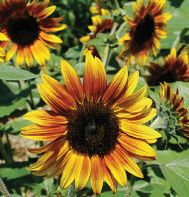 Firecracker dwarf sunflower (Helianthus annus) This variety grows up to 36 inches. We are planting 10 varieties of dwarf sunflowers as a temporary filler for the flower bed, as we can't plant bulbs until October or November in our hot desert climate.