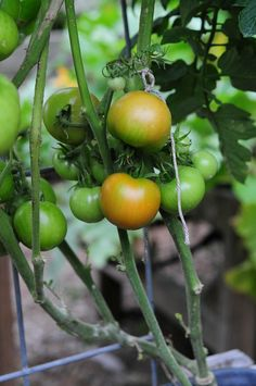 tomatoes ready to pick! these are so yummy - how to garden on link