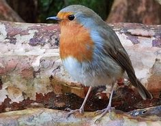 67 Not Out: Robins Comfort The Bereaved Tiny Bird, Small Birds, Colorful Birds, Pet Birds, Robin Photos, Animals And Pets, Cute Animals, European Robin, Robin Redbreast