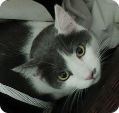 American shorthair cat colorado