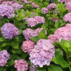 "HYDRANGEA Meaning: ""Thank you for understanding"" Perfect For: Gifting to close friends, or as a ""Thank you"""