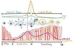 Menstrual cycle. Thank you sketchymedicine.com