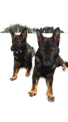 Two black sable german shepherds