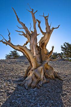 Matusalén, el ino longevo más antiguo del mundo. Tiene 4.850 años de edad. La ubicación exacta de Matusalén es secreta para protegerlo del ser humano.