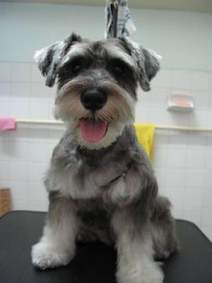 This is such a darling little mini schnauzer, what an adorable face so cute can't help but make you smile