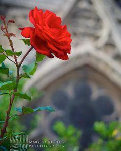 Im sure the #humpbackofnotredame would pick this for #esmeralda ... #paris #parisfrance #travel #travelphotography #notredame #rose #photography #sonya6300 #france