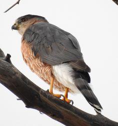 Cooper's Hawk sw-102416- (161)