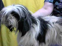 PATRICE - ID#A616203 (earliest available date is 2/16 - any investigation could delay date)   I am a female, white and black Lhasa Apso.  The shelter staff think I am about 9 years old.... See More — at Devore Shelter at 19777 Shelter Way, Devore, CA 92407 in San Bernardino County, CA 92407: (909) 386-9820, ext 0.