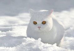Snow Kitty- this cat is awesome!