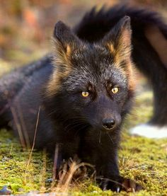 A stunning silver Fox, although he doesn't look very silver to me.