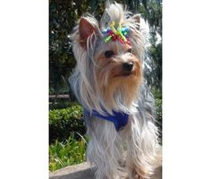 Dog breed: Yorkshire Terrier