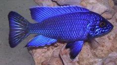 aulonocara electric blue