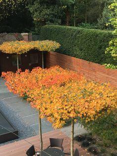 Ambertress providing shade and autumn colour Garden Trees, Plants, Garden Photos, Backyard Landscaping, Backyard Patio, Native Garden, Dream Garden, Garden Inspiration, Small Trees For Garden