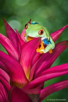 Red-Eyed Tree Frog by paulaqwest