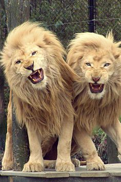 Strooming : lions