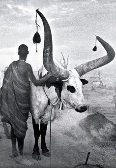 Nguni Cow Cow, Moose Art, Wildlife, Creatures, Animals, Animales, Animaux, Animal Memes, Animal