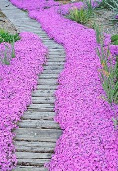 Bright pink Creeping Phlox borders this wood garden pathway. This flower blooms in the springtime for 4 to 6 weeks and is a real showstopper. For Summer bloom add Lavender into the middle of the garden next to the Creeping Phlox - My Backyard Now Unique Gardens, Beautiful Gardens, Garden Paths, Garden Landscaping, Herb Garden, Landscaping Ideas, Phlox Flowers, Pink Flowers, Bright Flowers