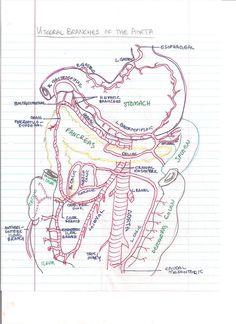 Vasculature of the abdomen and associated organs.