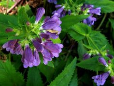 This penstemon thrives near the waters edge and the moist woodland setting so it will do well in a sunny garden situation that is given water. Native Plants, North West, Nativity, Pacific Northwest, Woodland, Flowers, Mary, Gardening, Water