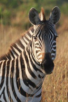 Zebra, Masai Mara by Richard Ainsworth