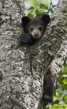 Black Bear cub in tree. Photo by Glatz Nature Photography