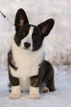 """Fantastic """"corgi puppies: info is available on our internet site. Read more and you wont be sorry you did. Puppies And Kitties, Cute Puppies, Cute Dogs, Puggle Puppies, Corgi Dog, Dog Cat, Pet Pet, Beautiful Dogs, Animals Beautiful"""