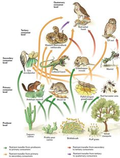 This is a desert food chain. As you can see, the food cha. Desert Ecosystem, Desert Biome, Food Chain Game, Food Chains, Rainforest Food Web, Food Chain Activities, Science Activities, Grassland Biome, Ecosystems Projects