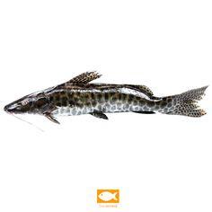 Foto peixe pintado