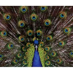 Peacock Throw Blanket on CafePress.com