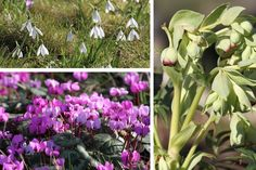 Snowdrops, Cyclamen Coum and Hellebore Foetidious at Hodsock Priory